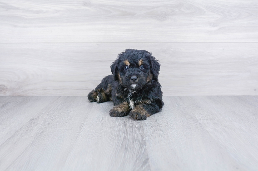 F1 MINI BERNEDOODLE PUPPY - 6 week old Mini Bernedoodle for sale