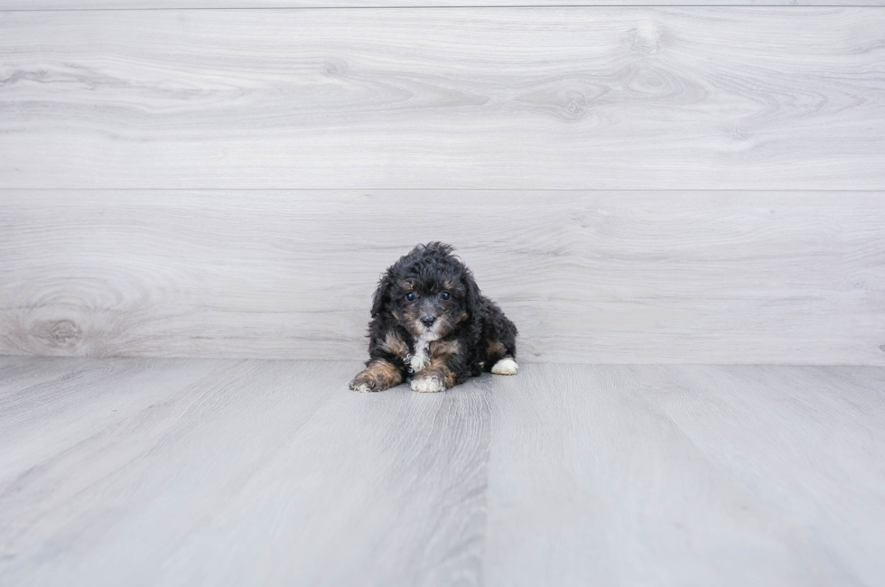 MINI POODLE PUPPY - 6 week old Poodle for sale