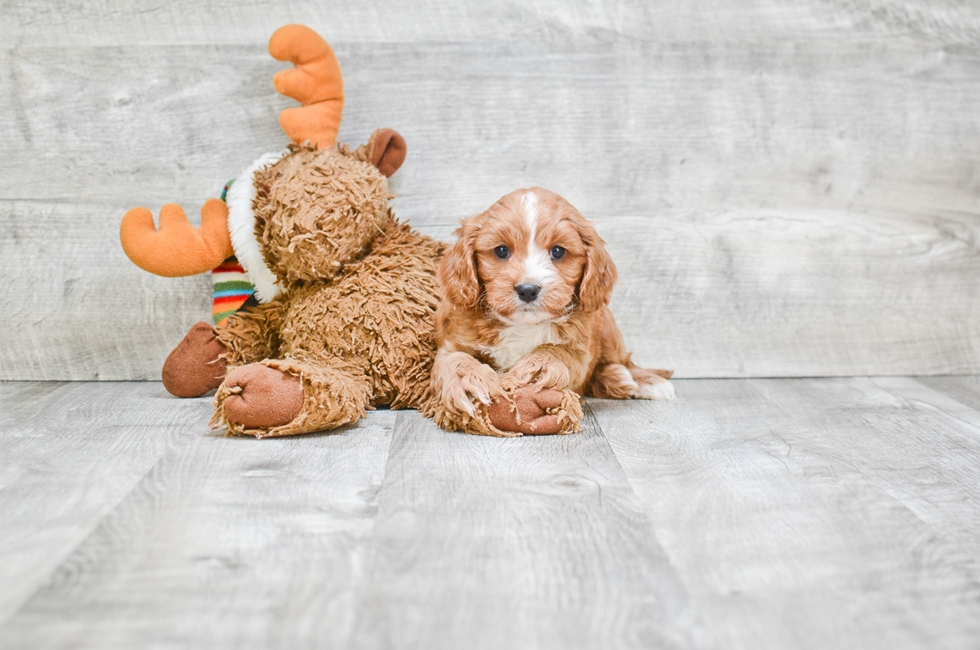 CAVA POO PUPPY - 8 week old Cava Poo for sale