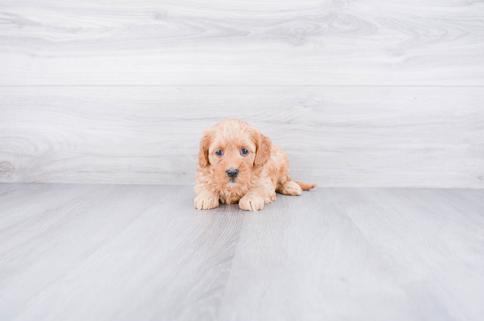 F1B MINI GOLDENDOODLE PUPPY - 7 week old Mini Goldendoodle for sale
