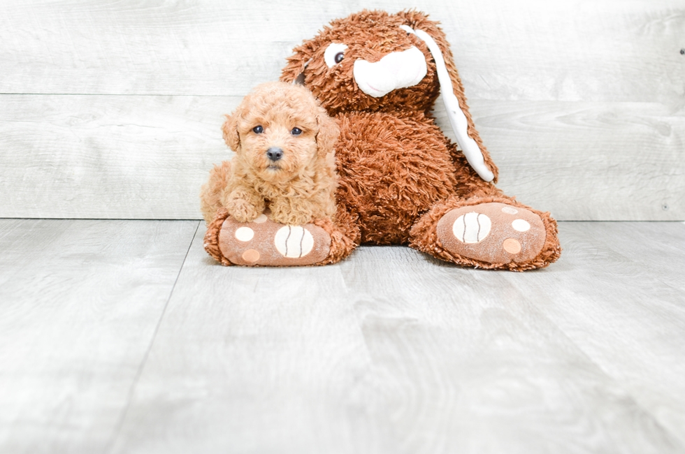 MINI POODLE PUPPY - 7 week old Poodle for sale