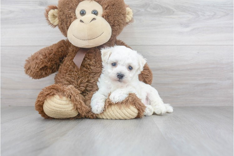Bichon Frise Puppy For Sale Premier Pups
