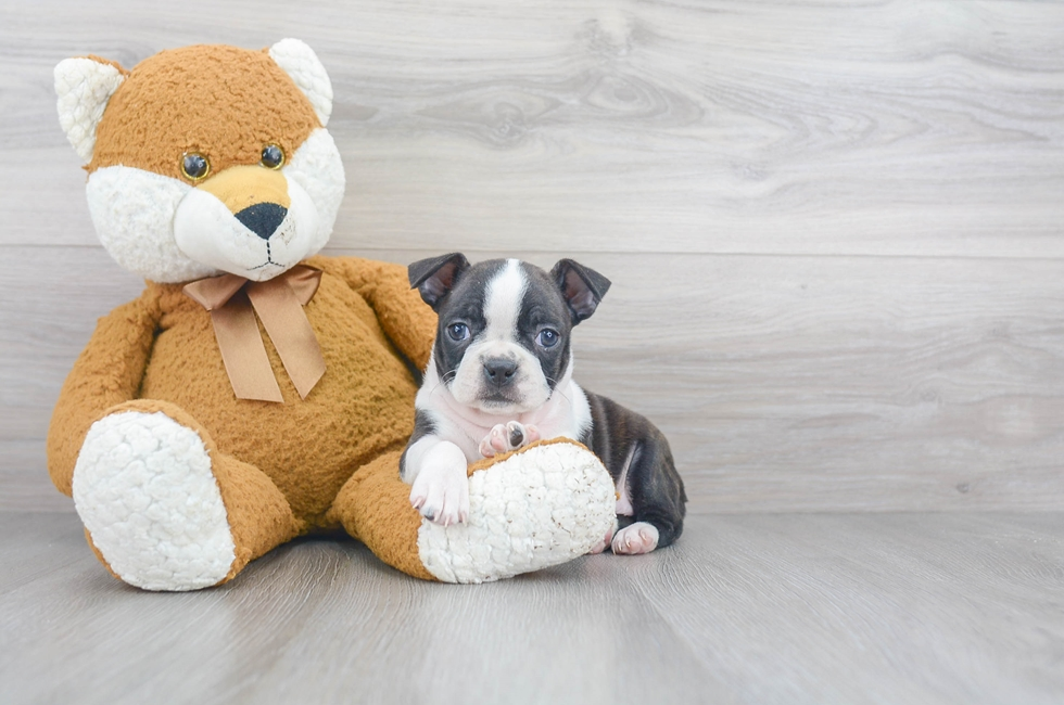 8 week old Boston Terrier Puppy For Sale Premier Pups