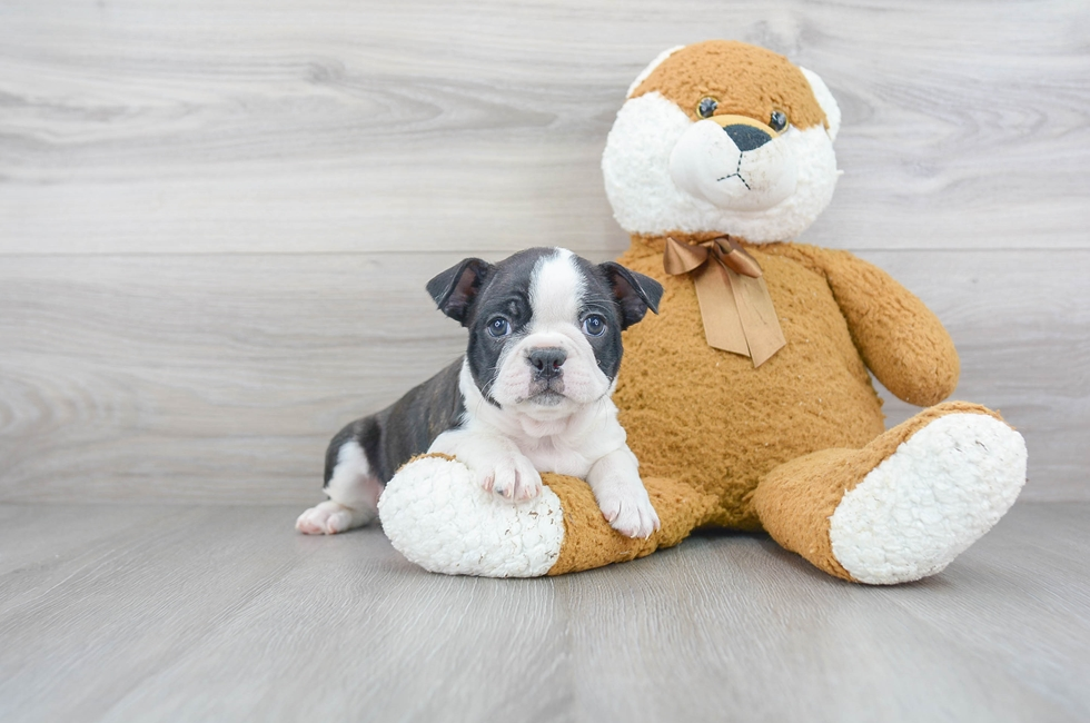 7 week old Boston Terrier Puppy For Sale Premier Pups