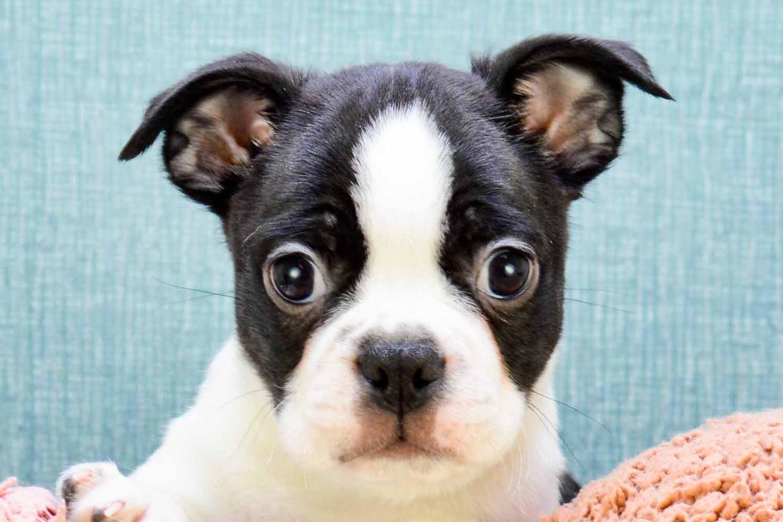 boston terrier puppies ohio