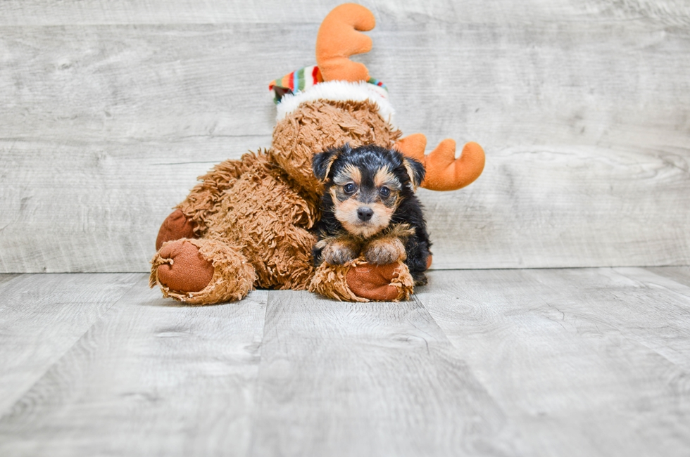 yorkie poo for adoption yorkie poo puppies for sale designer dog breed for sale 422
