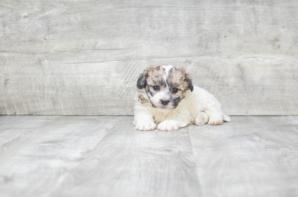 TEDDY BEAR PUPPY - 5 week old Teddy Bear for sale