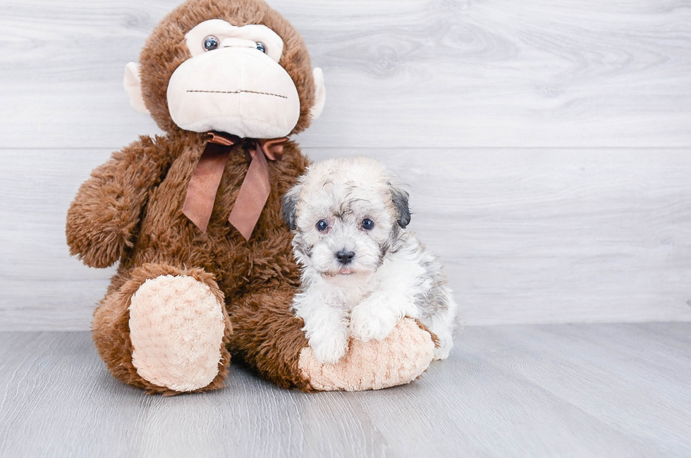 HAVA CHON PUPPY - 6 week old Havanese for sale
