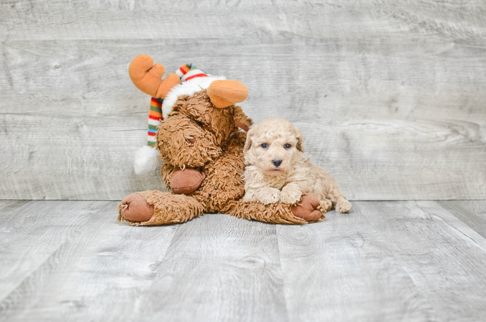 Mini POODLE PUPPY - 5 week old Poodle for sale