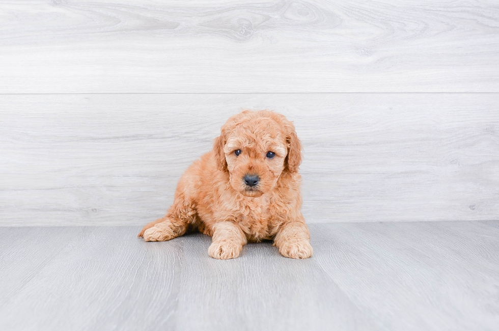 F1B PETITE GOLDENDOODLE PUPPY - 6 week old Mini Goldendoodle for sale