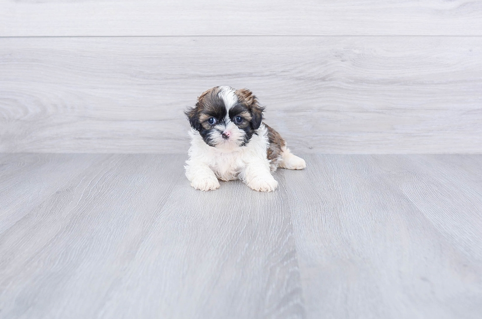 SHIH TZU PUPPY - 7 week old Teddy Bear for sale