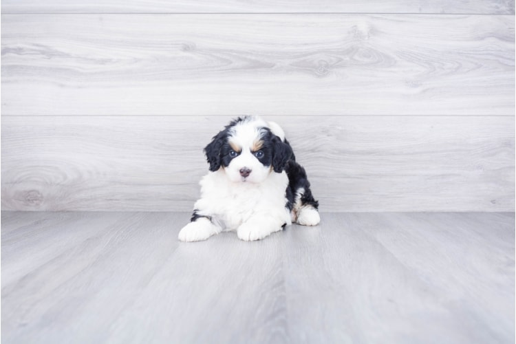 F1B MINI BERNEDOODLE PUPPY 1