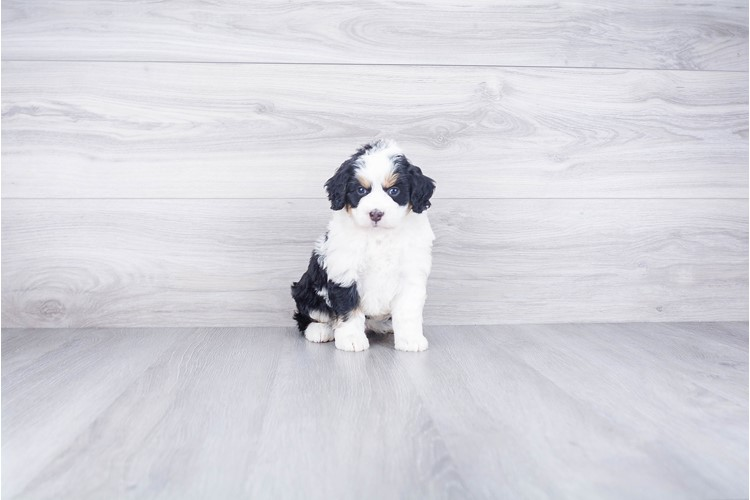 F1B MINI BERNEDOODLE PUPPY 2