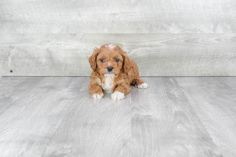 Cavapoo Puppy For Sale Premier Pups