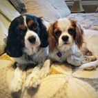 Cavalier King Charles Spaniel Puppy For Sale Premier Pups