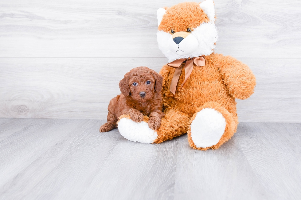 MINI POODLE PUPPY - 8 week old Poodle for sale