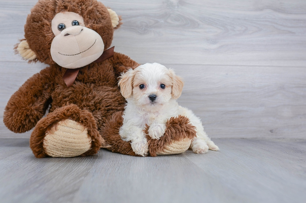 7 week old Cavachon Puppy For Sale Premier Pups