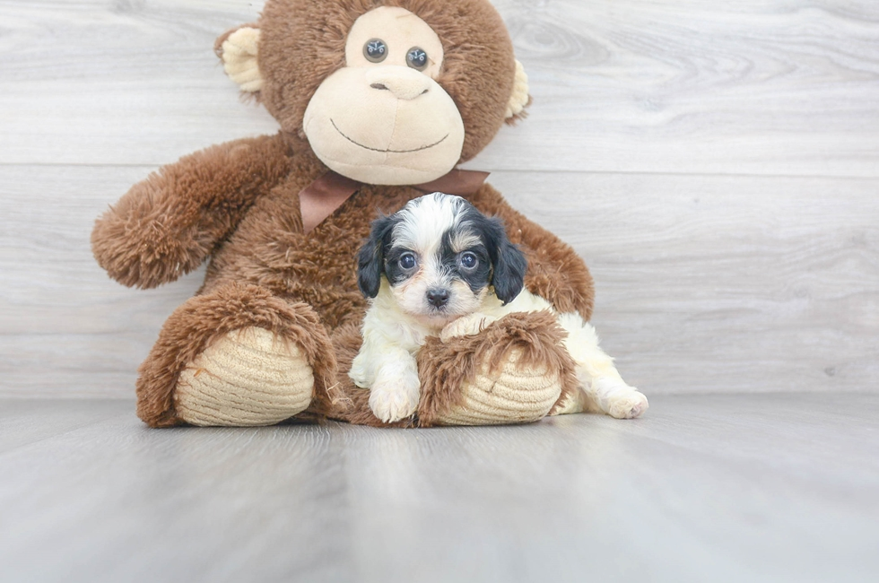 6 week old Cavachon Puppy For Sale Premier Pups