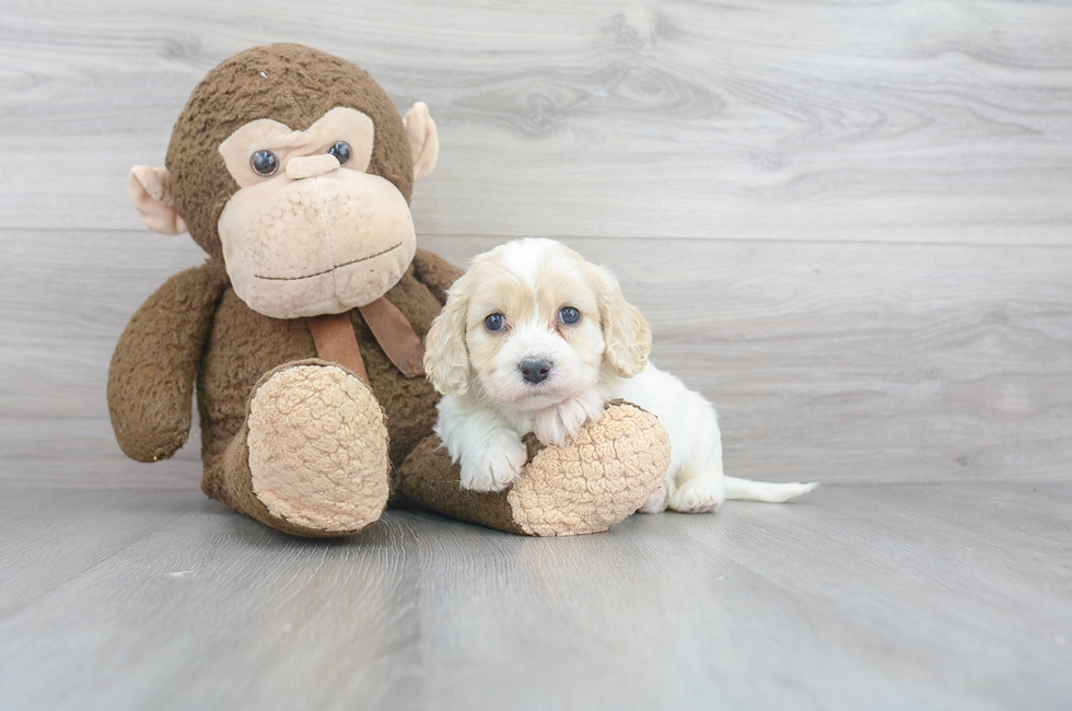 5 week old Cavachon Puppy For Sale Premier Pups