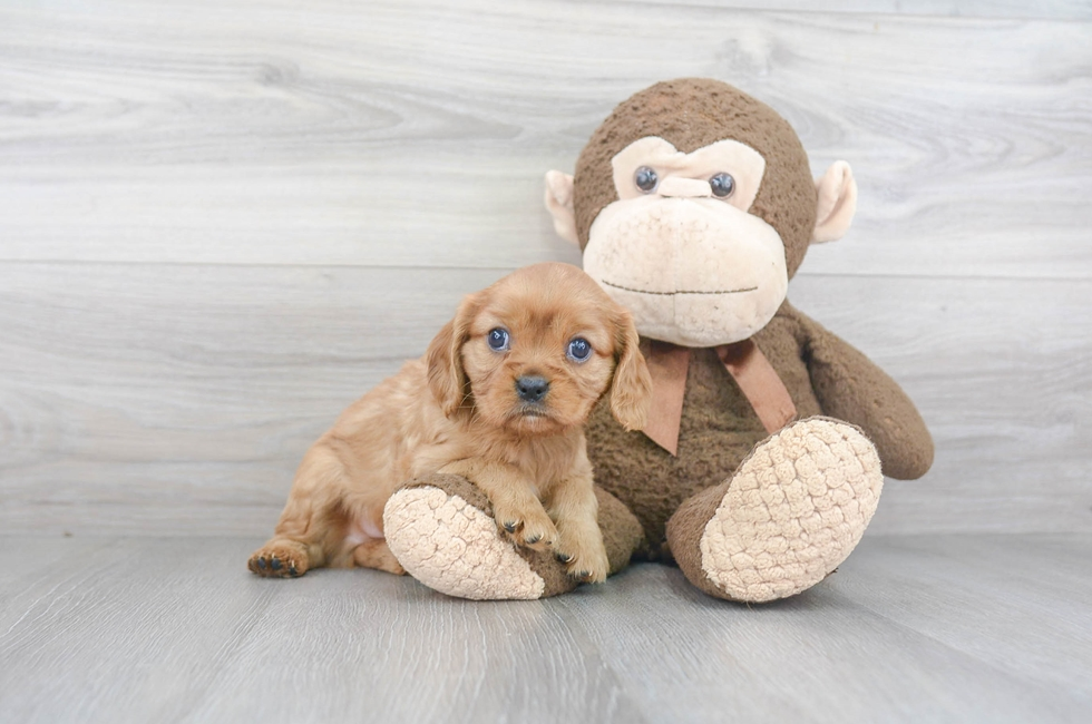 8 week old Cavalier King Charles Spaniel Puppy For Sale Premier Pups