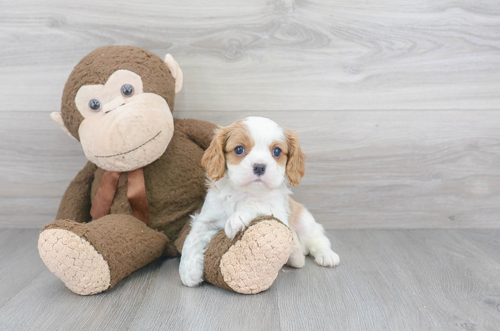 7 week old Cavalier King Charles Spaniel Puppy For Sale Premier Pups