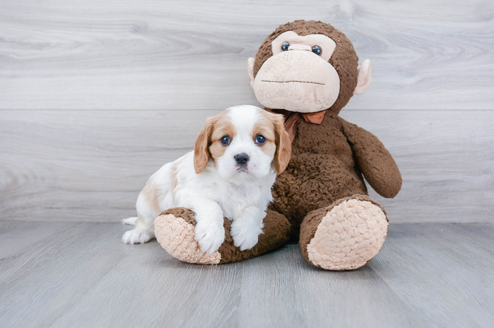 6 week old Cavalier King Charles Spaniel Puppy For Sale Premier Pups