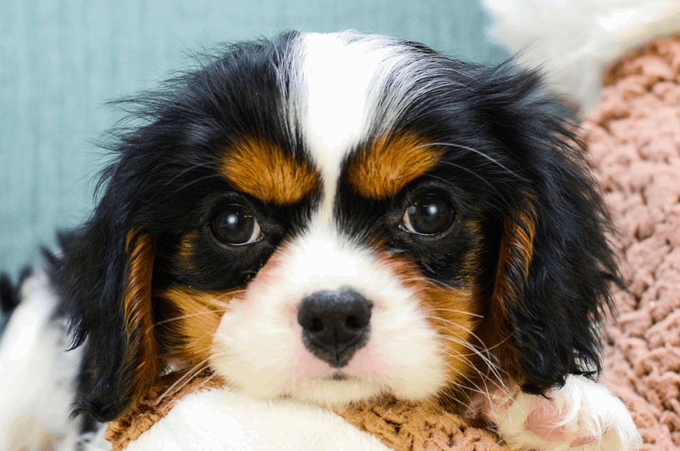 cavalier puppies for sale premierpups com