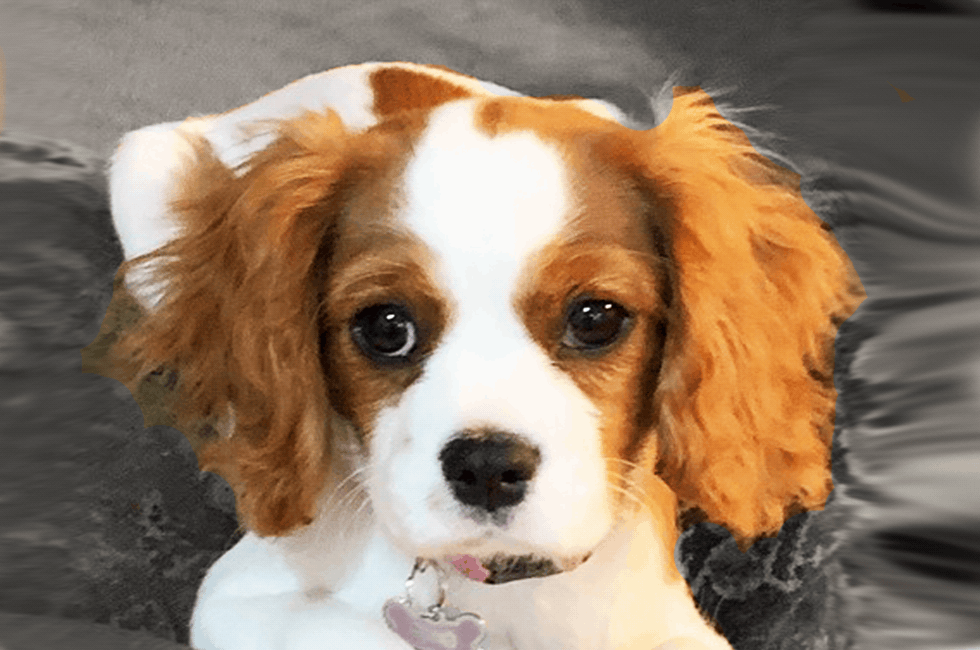 cavalier king charles spaniel puppies free to good home