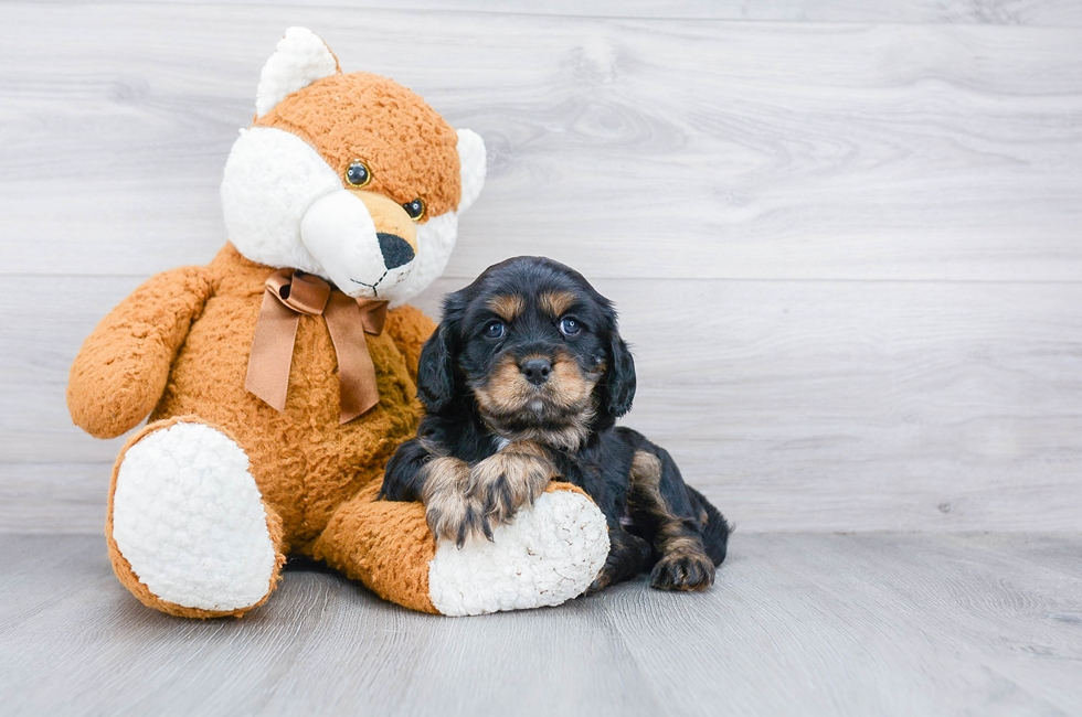 5 week old Cavalier King Charles Spaniel Puppy For Sale Premier Pups
