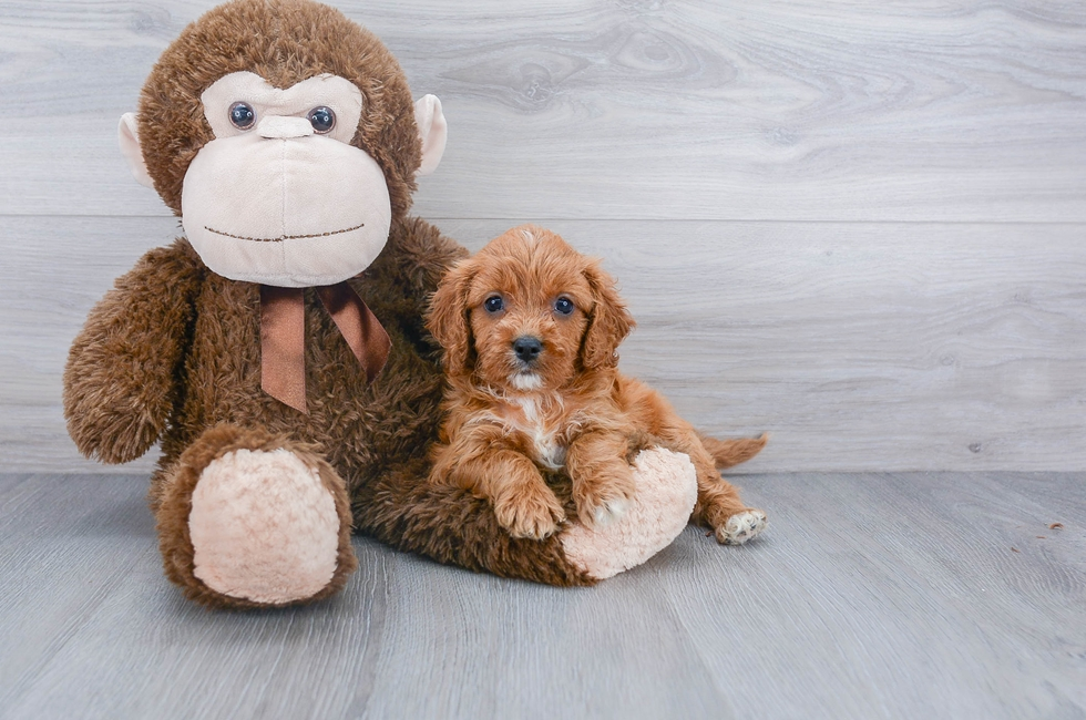 5 week old Cavapoo Puppy For Sale Premier Pups