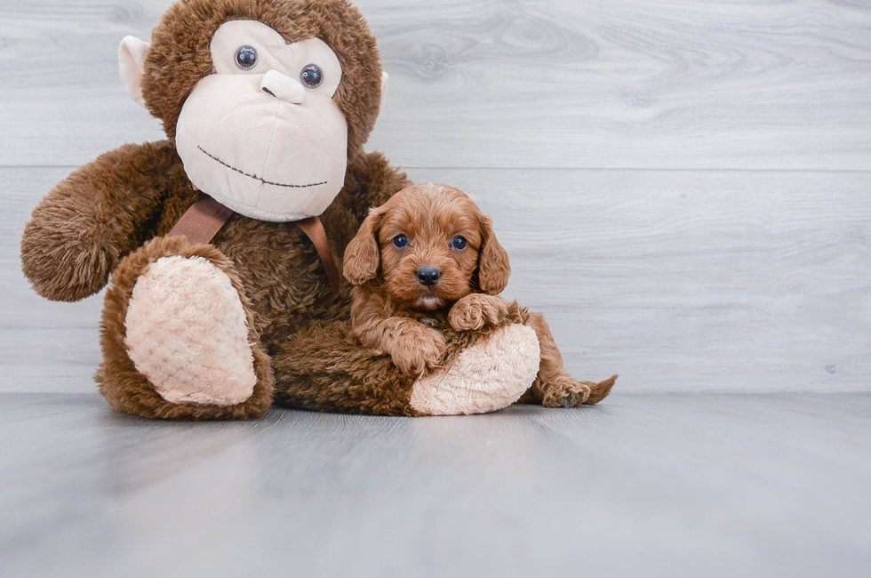 CAVAPOO PUPPY - 6 week old Cavapoo for sale