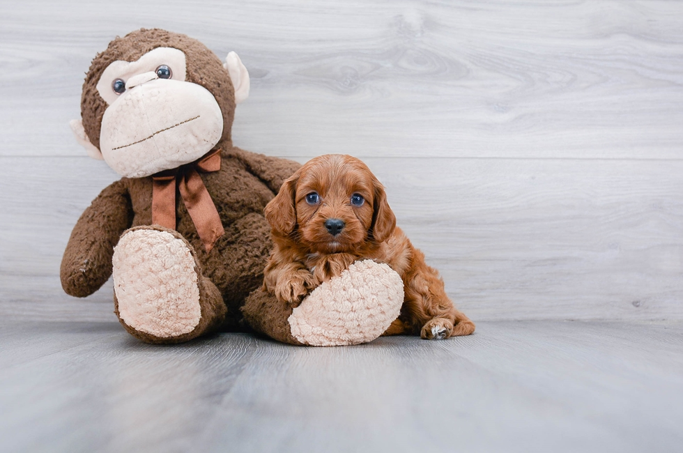 7 week old Cavapoo Puppy For Sale Premier Pups