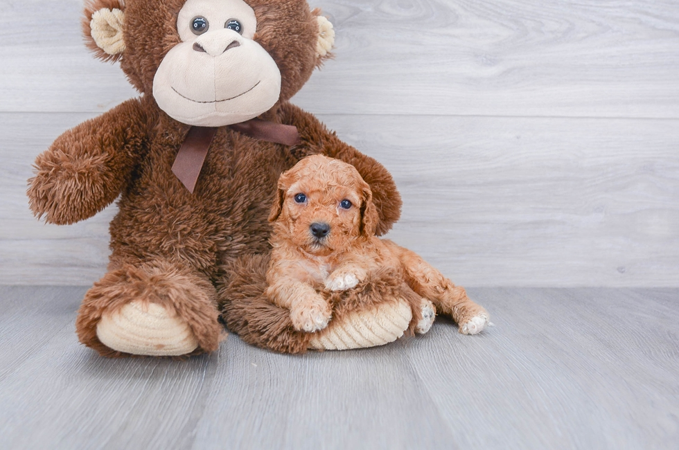 F1B CAVAPOO PUPPY - 5 week old Cavapoo for sale