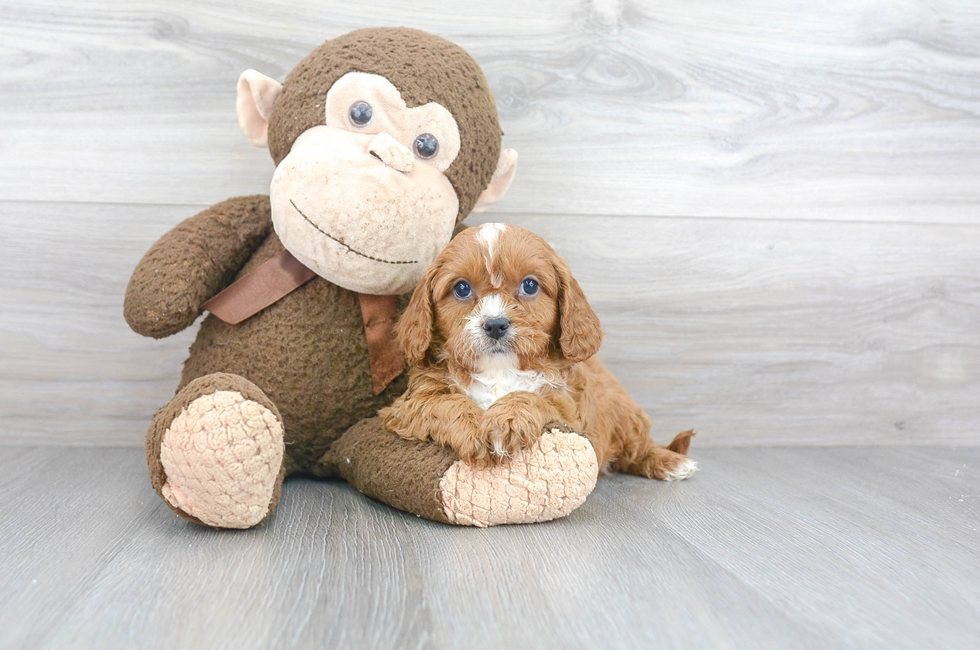 8 week old Cavapoo Puppy For Sale Premier Pups