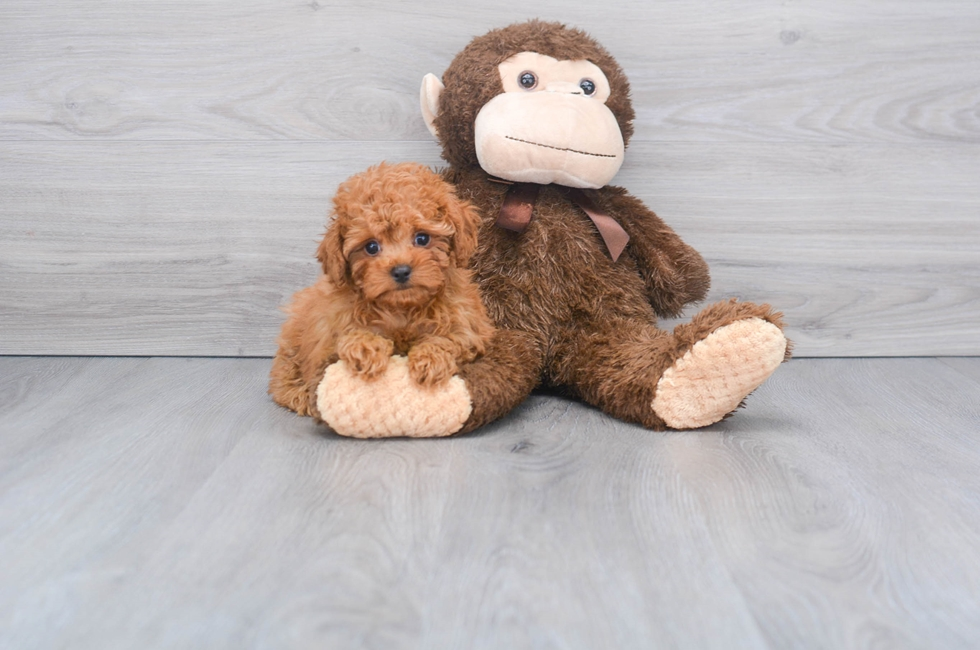 10 week old Cavapoo Puppy For Sale Premier Pups