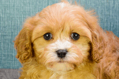 Small breed puppies for sale | Teacup Pups for sale in Ohio ... Bichon Frise Akc