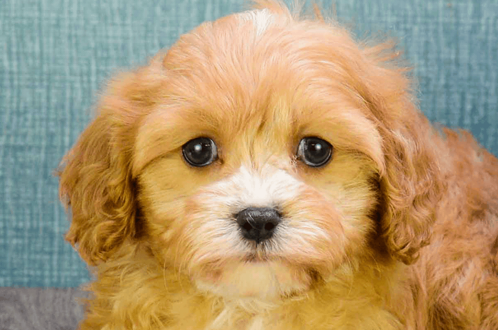 Cavapoo Puppies for Sale | Cavoodle Puppies - US Shipping