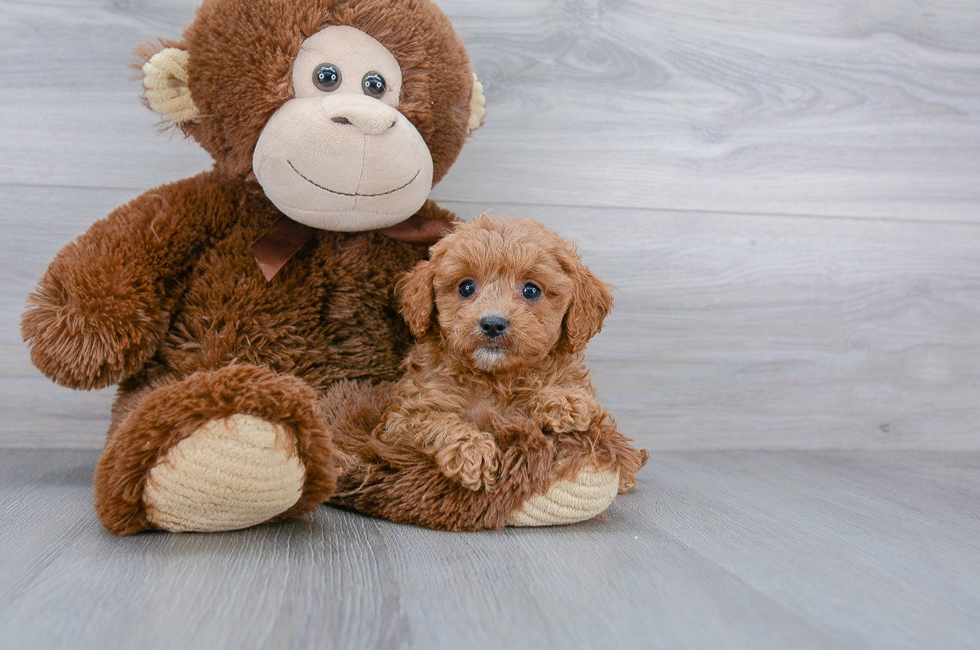 6 week old Cavapoo Puppy For Sale Premier Pups
