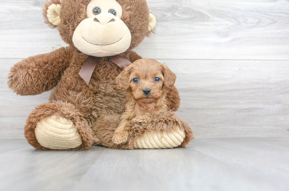 9 week old Cavapoo Puppy For Sale Premier Pups