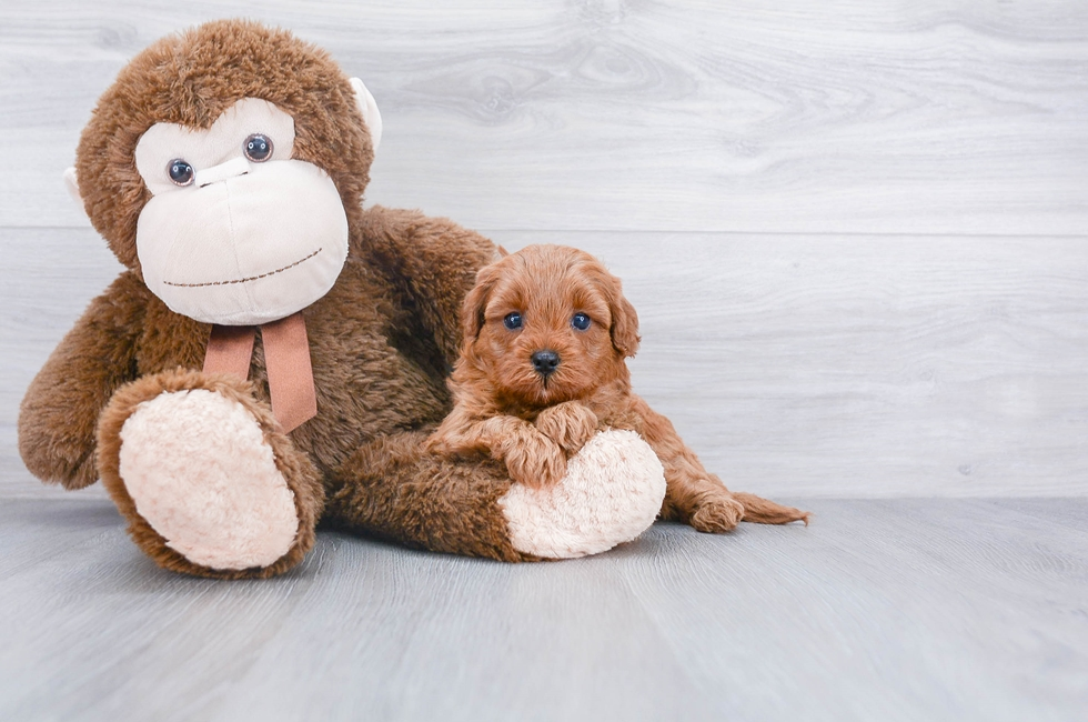 F1B CAVAPOO PUPPY - 6 week old Cavapoo for sale