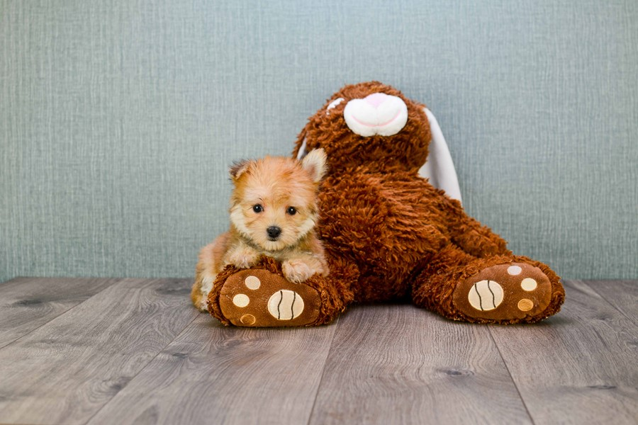 TEACUP MORKIE PUPPY 5