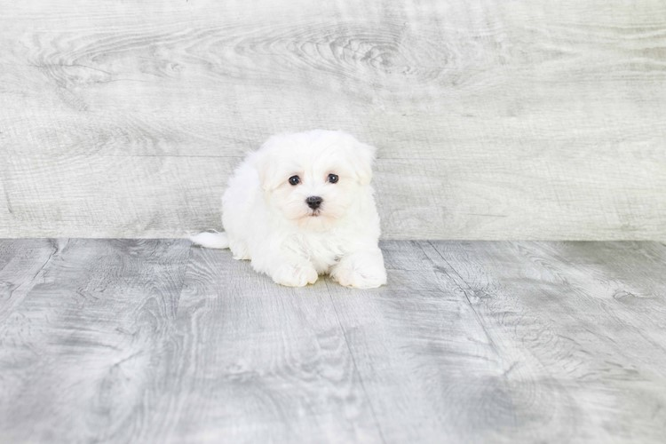 TEACUP MALTESE PUPPY 3