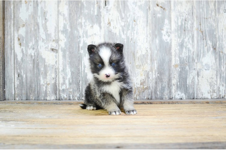 MINI POMSKY PUPPY 1