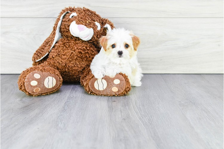 TEACUP PARTI MORKIE PUPPY 2