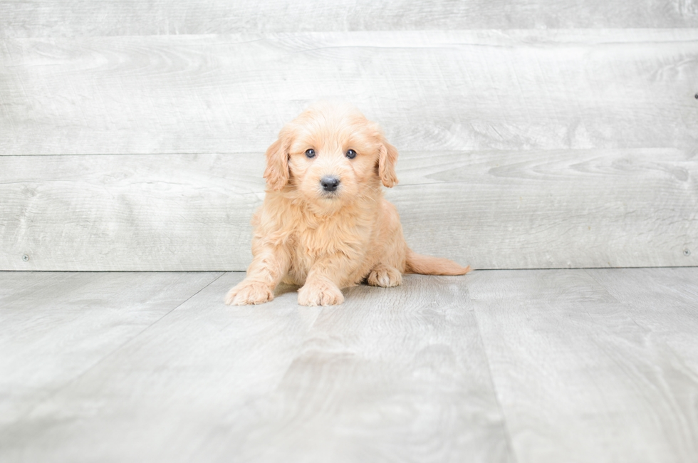 F1 MINI GOLDENDOODLE PUPPY - 9 week old Mini Goldendoodle for sale