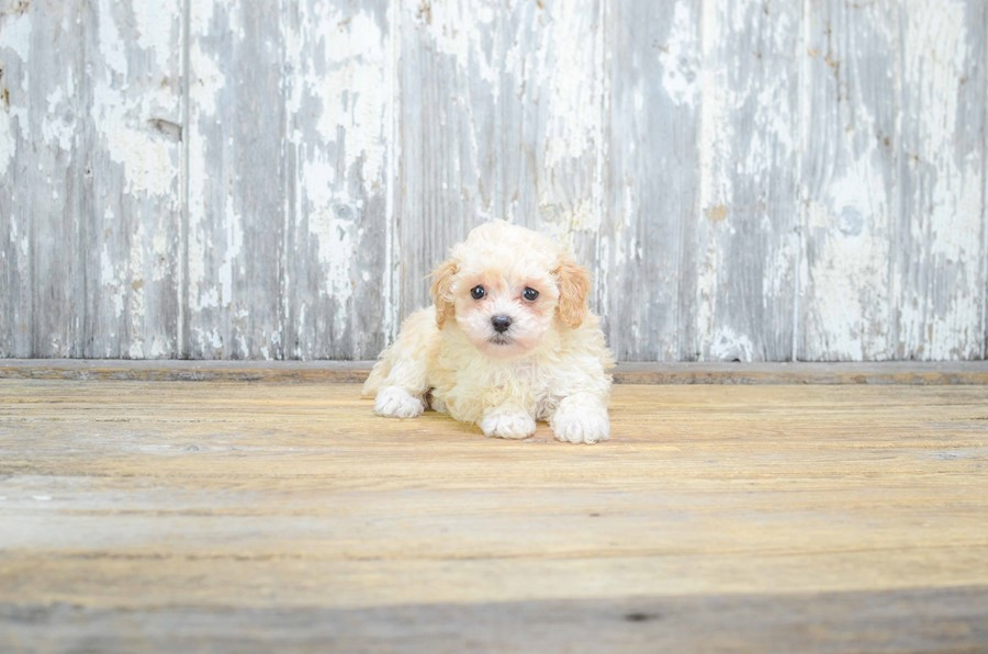 TOY POODLE PUPPY 4