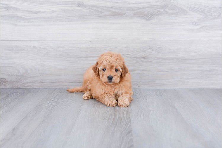 F1B MINI GOLDENDOODLE PUPPY 4