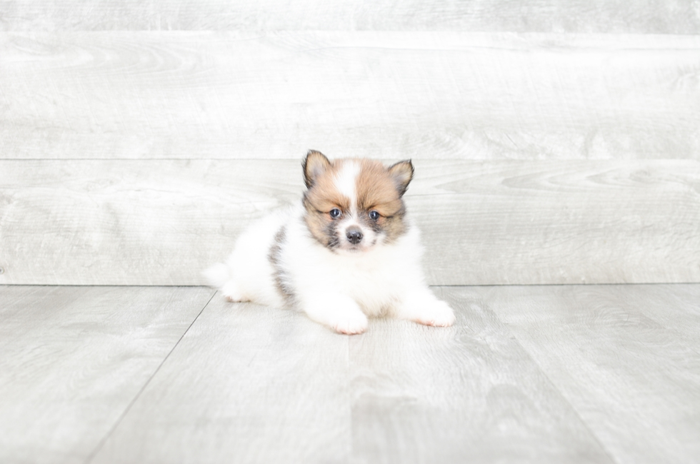 POMERANIAN PUPPY - 6 week old Pomeranian for sale