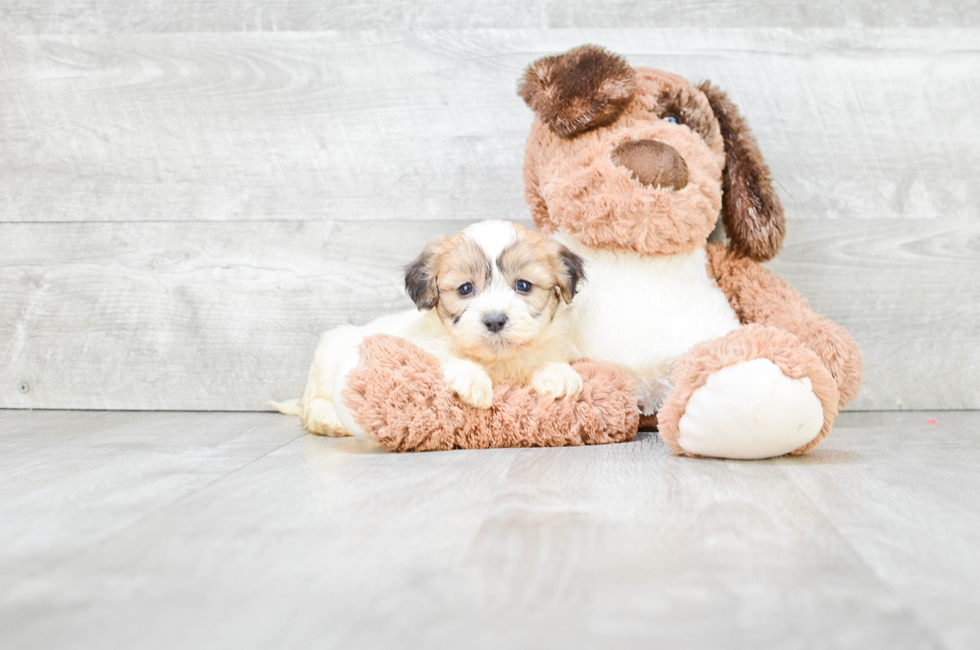 TEDDY BEAR PUPPY - -4690 week old Teddy Bear for sale