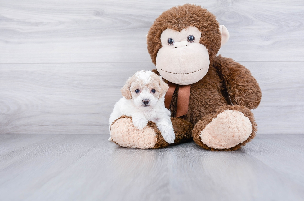POO CHON PUPPY - 7 week old Malti Poo for sale